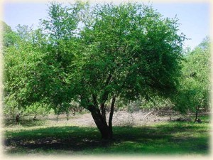 Mayhaw Berry tree at Golden Acres Ranch