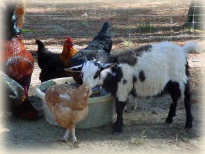 Mini myotonic goat and chickens at Golden Acres Ranch