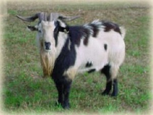 Zeus was one of the first sires at Golden Acres Ranch.