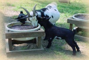 Goats eating Golden Blend Feed