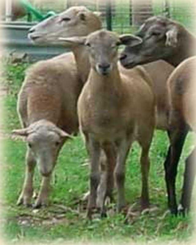 Katahdin Sheep at Golden Acres Ranch
