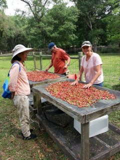Drying Mayhaw Berries