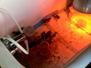 Guinea Fowl keets in a tub with heat lamp