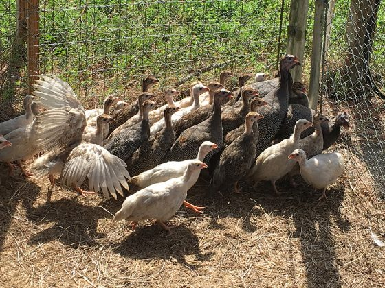Guinea Fowl keets for sale at Golden Acres Ranch