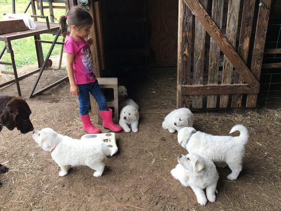 Honey's puppies at Golden Acres Ranch