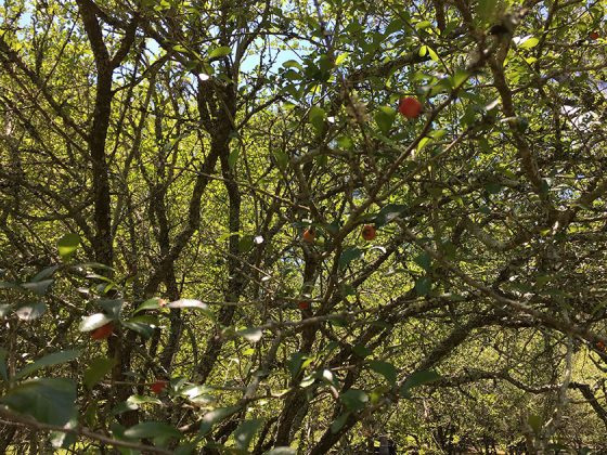 Mayhaw Berries on trees at Golden Acres Ranch Florida