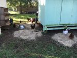Chickens spreading hay at Golden Acres Ranch