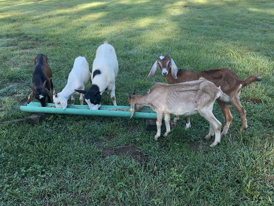 Healing goats at Golden Acres Ranch