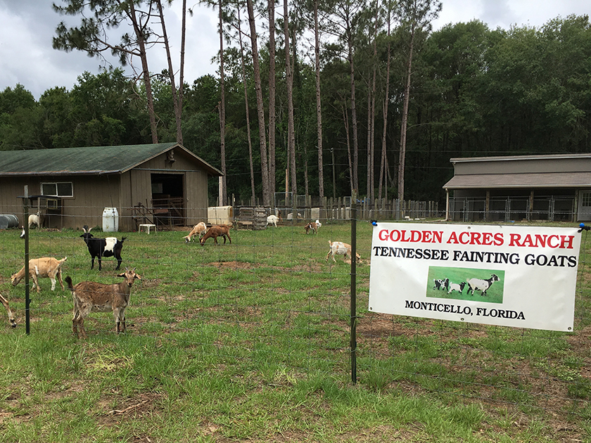 golden-acres-ranch-tennessee-fainting-goats | Golden Acres Ranch
