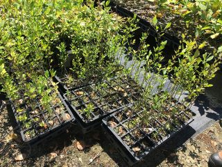 Mayhaw Berry Trees For Sale at Golden Acres Ranch