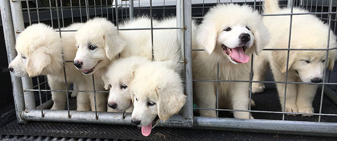 Great Pyrenees puppies for sale at Golden Acres Ranch Florida