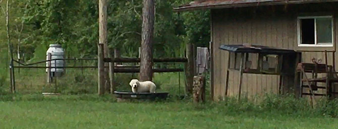 Great Pyrenees puppy, Toby, standing in water trough