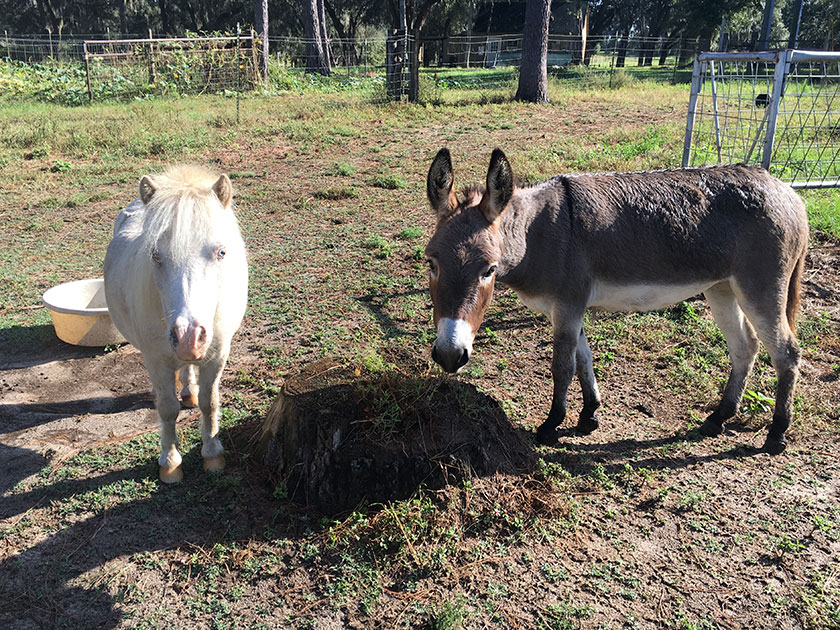 Tyrion the mini-horse and Cookie the mini-donkey at Golden Acres Ranch