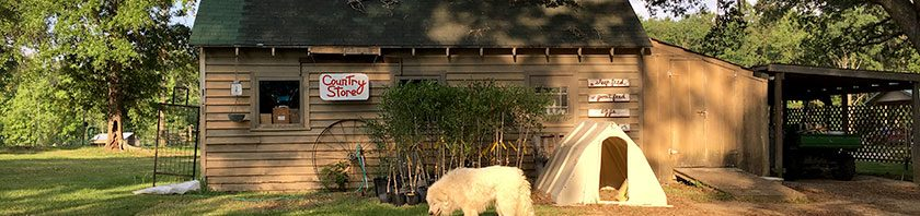 Great Pyrenees in front of Country Store at Golden Acres Ranch Florida