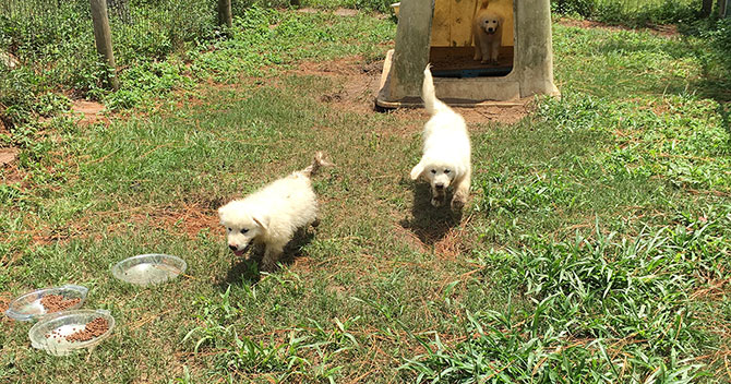 Great Pyrenees puppies playing in the yard