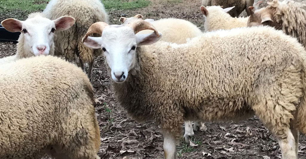 Gulf Coast Native Sheep at Golden Acres Ranch