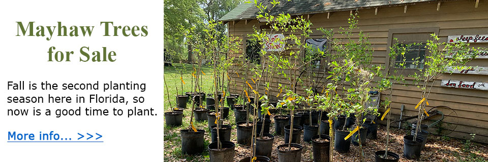 Mayhaw Trees for Sale. Now is a good time to plant.